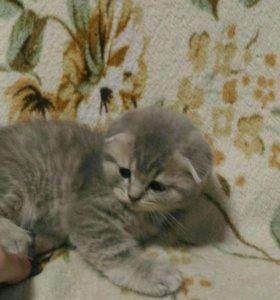 Продам котят вислоухая шотланка . Торг уместен