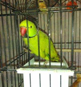 Александрийский ожереловый попугай