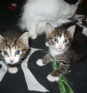 котята 1 месяц (кот и кошечка),