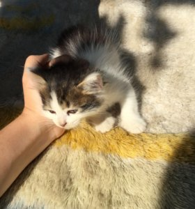 Прелестные котята в добрые руки