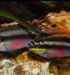 Пельвикахромис крибензис (попугайчик)