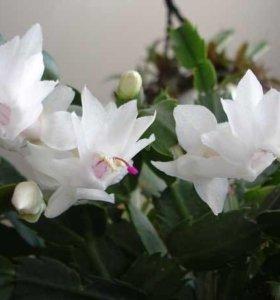 Цветок Шлюмбергера белый