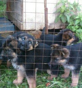 Продаются щенки немецкой овчарки  2месяца.