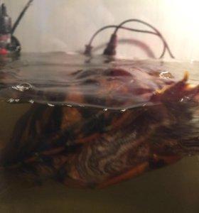Водная черепашка