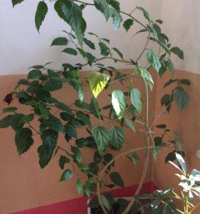 Гибискус,Китайская роза