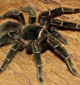 Лошадиный паук (Lasiodora parahybana)