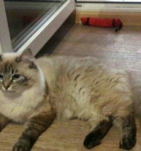 Невская Маскарадная продам котят