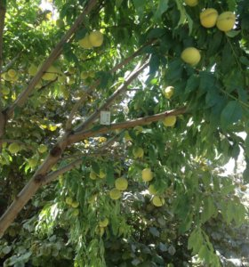 Саженцы, поздний персик