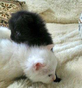 Котята МейнКун