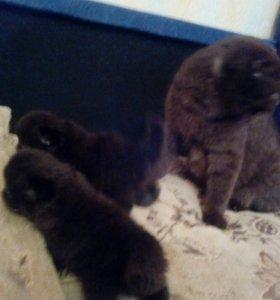 Котята плюшевые вислоушки