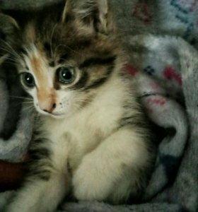 Продам сибирского котенка