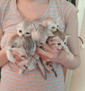 Милые британцы-котятки