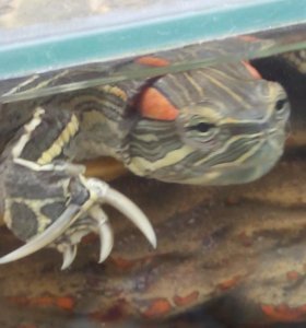 Касноухая черепаха с аквариумом