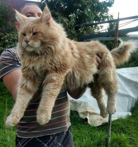 Молодой кот мейн кун