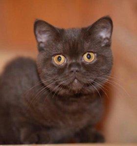 Котик шотландской вислоухой кошки