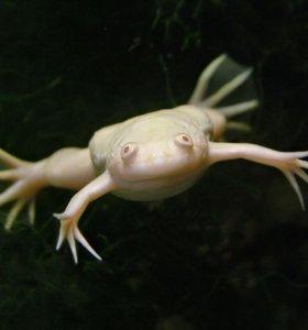 Лягушка шпорцевая альбинос