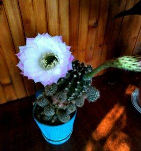 Кактус. Комнатные растения. Суккуленты