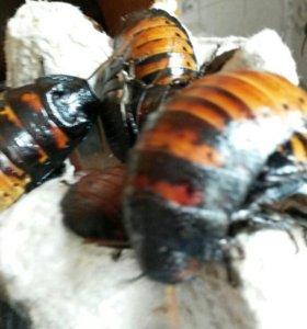 Мадагаскарские тараканы.