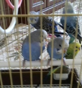 Молодые попугайчики