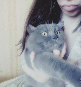 кот британский