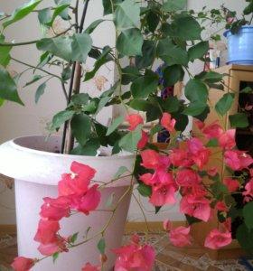 Комнатное растение, лиана
