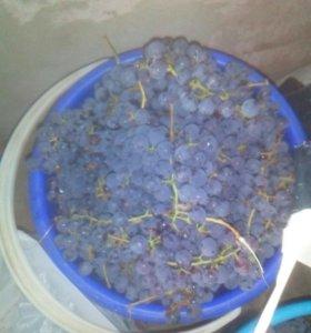 продам синий виноград