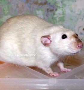 Декоративные крысы сиамского окраса, дамбо.
