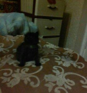 котёнок мальчик 2 мес.