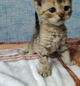 Супер кудрявые котята
