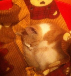 Рыженький котёнок