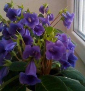 Глоксиния Тидея фиолетовая (листочки, ростки)