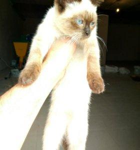 Отдам Котёнка сиамского мальчика в хорошие руки.