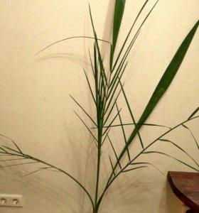 Финиковая пальма Египет доставка бесплатно