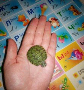 Красноухие черепахи!!!