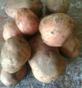 "Картофель ""Ароза"""