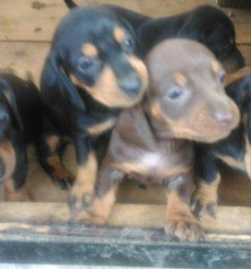 Таксята,  осталось 4 щенка!!!