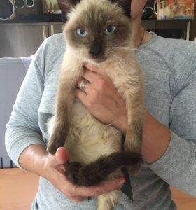 Сиамский котик Проша