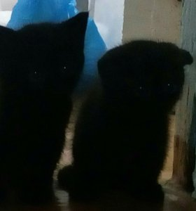 Котёнок от вислоухой кошки