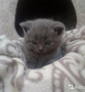 Британский котенок Тимошка.