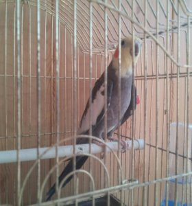Попугай Корелла (мальчик)