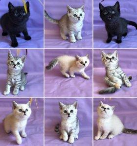 Котята шотландской породы