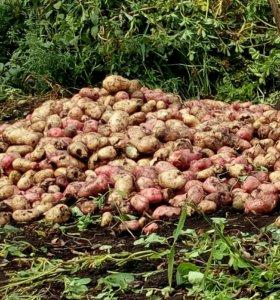 Картофель за ведро