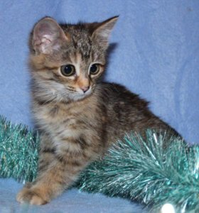 Котенок в добрые руки Плута, котенок в дар