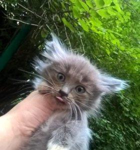 Сибирский голубой котёнок даром