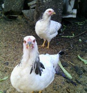Цыплята-молодки первомайской породы