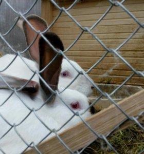 🐰Калифорнийские кролики