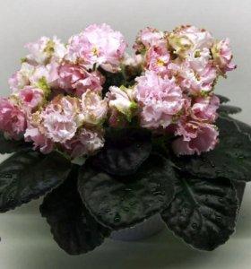 Сенполия ЛЕ-Парнасская роза (фиалка)