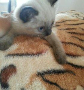 котята(сиамские)