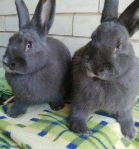 Кролики Венский голубой 6мес