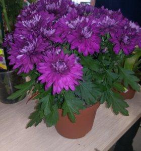 Цветок хризантема фиалетовая